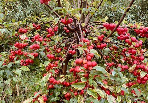 appeltjesboom